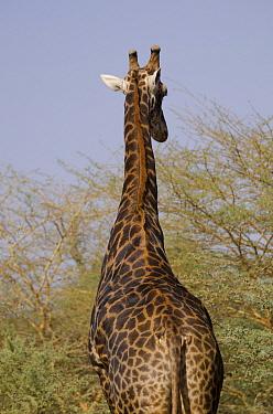 South African Giraffe (Giraffa camelopardalis giraffa), Bandia Reserve, Senegal  -  Roland Seitre