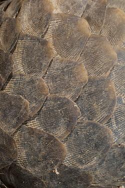Malayan Pangolin (Manis javanica) scales, Cambodia  -  Roland Seitre