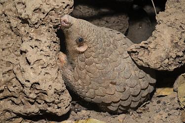 Malayan Pangolin (Manis javanica) at burrow, Cambodia  -  Roland Seitre