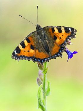 Small Tortoiseshell (Aglais urticae) butterfly, Germany