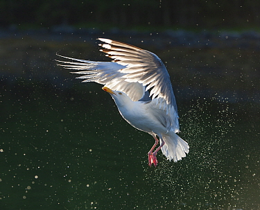 Herring Gull (Larus argentatus) flying, Flatanger, Norway