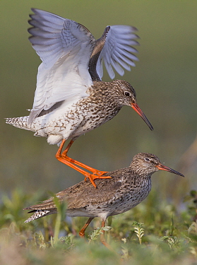 Common Redshank (Tringa totanus) pair mating, Turov, Belarus
