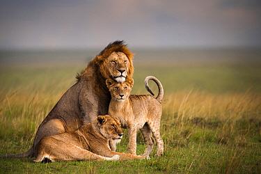 African Lion (Panthera Leo) family, Masai Mara, Kenya