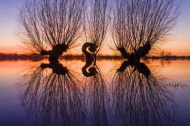 Willow (Salix sp) trees reflecing in river Ijssel, Overijssel, Netherlands