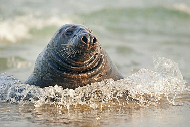 Grey Seal (Halichoerus grypus) in surf, Schleswig-Holstein, Germany