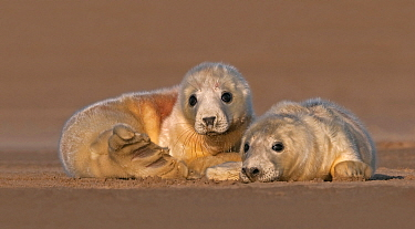 Grey Seal (Halichoerus grypus) pups on beach, Donna Nook, Lincolnshire, England