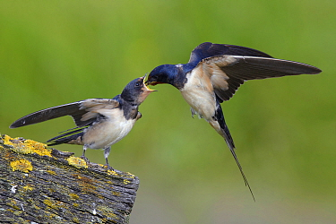 Barn Swallow (Hirundo rustica) parent feeding fledgling, Noord-Holland, Netherlands