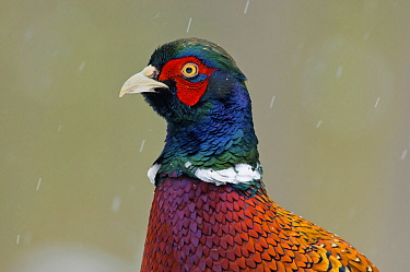 Ring-necked Pheasant (Phasianus colchicus) male, Zuid-Holland, Netherlands