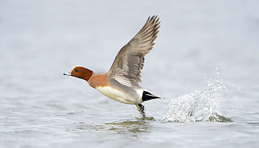 Eurasian Wigeon (Anas penelope) taking flight, Zeeland, Netherlands