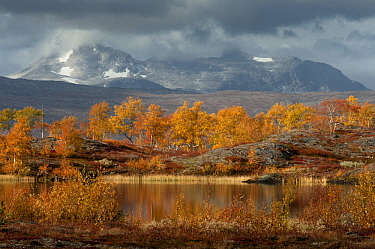 Birch (Betula sp) trees in autumn, Nordland, Norway