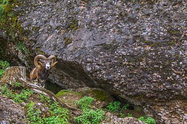 Mouflon (Ovis orientalis) ram, Schwyz, Switzerland