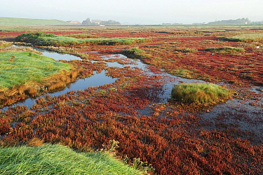 Common Glasswort (salicornia europaea) in marsh, Zeeland, Netherlands