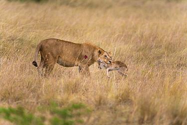 African Lion (Panthera leo) female predating Ugandan Kob (Kobus kob thomasi) calf, Queen Elizabeth National Park, Uganda  -  Adri de Visser