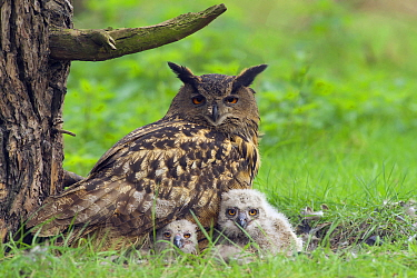 Eurasian Eagle-Owl (Bubo Bubo) parent on nest with chicks, Netherlands