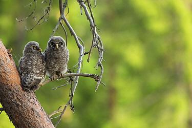Great Gray Owl (Strix nebulosa) chicks, Oslo, Norway