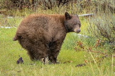 Black Bear (Ursus americanus) defecating after feeding on berries, Grand Teton National Park, Wyoming