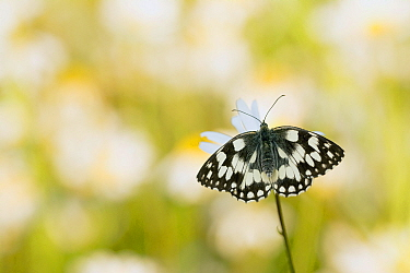 Marbled White (Melanargia galathea) butterfly, Germany