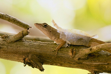 Brown Anole (Anolis sagrei) molting, Mexico
