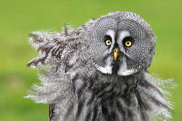 Great Gray Owl (Strix nebulosa) fluffing feathers, Jamtland, Sweden