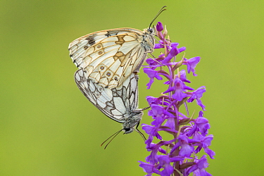 Marbled White (Melanargia galathea) pair mating on Fragrant Orchid (Gymnadenia conopsea), Belgium