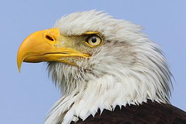 Bald Eagle (Haliaeetus leucocephalus), Overijssel, Netherlands