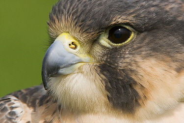 Peregrine Falcon (Falco peregrinus), Zuid-Holland, Netherlands