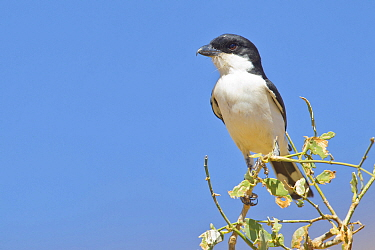 Teita Fiscal (Lanius dorsalis), Samburu National Park, Kenya