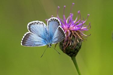 Chalkhill Blue (Polyommatus coridon) male on Great Starthistle (Centaurea scabiosa), Belgium