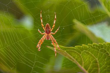 Garden Spider (Araneus diadematus) in web, Zuid-Holland, Netherlands