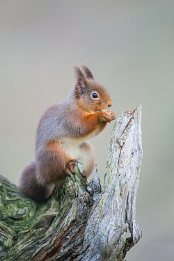 Eurasian Red Squirrel (Sciurus vulgaris) feeding on nut, Cairngorms National Park, Scotland
