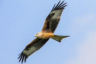 Red Kite (Milvus milvus) flying, Brecon Beacons National Park, Wales