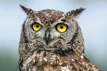 Spotted Eagle-Owl (Bubo africanus), Noord-Brabant, Netherlands