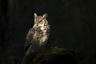 Great Horned Owl (Bubo virginianus), Yellowstone National Park, Wyoming