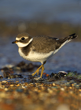 Common Ringed Plover (Charadrius hiaticula) juvenile, Zuid-Holland, Netherlands