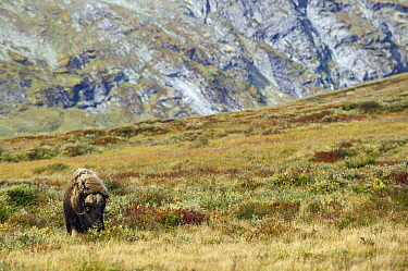 Muskox (Ovibos moschatus) bull in tundra, Norway
