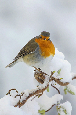 European Robin (Erithacus rubecula) in winter, Netherlands