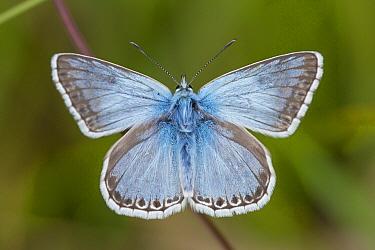 Chalkhill Blue (Polyommatus coridon) male, Belgium