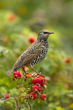 Common Starling (Sturnus vulgaris) female on Dog Rose (Rosa canina), Noord-Holland, Netherlands