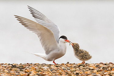Common Tern (Sterna hirundo) parent feeding its chick, Noord-Holland, Netherlands