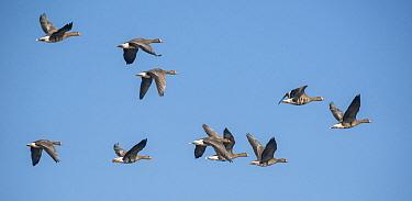 White-fronted Goose (Anser albifrons) flock flying, Zuid-Holland, Netherlands