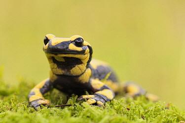 Fire Salamander (Salamandra salamandra) on Moss (Hypnum cupressiforme), Burgundy, France