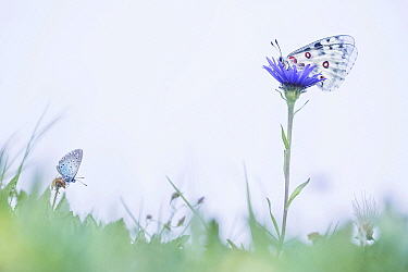 Large Blue Butterfly (Maculinea Arion) and Mountain Apollo (Parnassius apollo), France