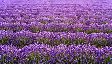 English Lavender (Lavandula angustifolia) field, Provence, France