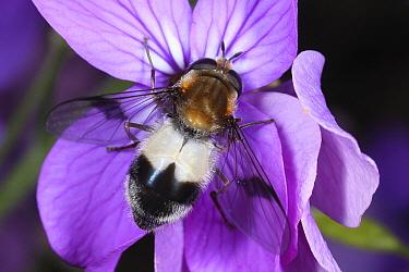 Hoverfly (Leucozona lucorum) feeding on Annual Honesty (Lunaria annua) flower nectar, Drenthe, Netherlands  -  Jan van Duinen/ NiS