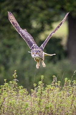 Eurasian Eagle-Owl (Bubo bubo) flying, Gloucestershire, England
