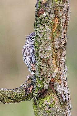Little Owl (Athene noctua) hiding behind tree, Gloucestershire, England