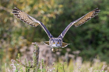Eurasian Eagle-Owl (Bubo bubo) flying, Gloucestershire, England