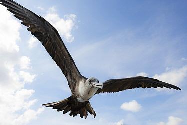 Magnificent Frigatebird (Fregata Magnificens) sub-adult female flying, Curacao, Netherlands Antilles, Caribbean