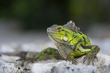 Green Iguana (Iguana iguana), Curacao, Netherlands Antilles, Caribbean