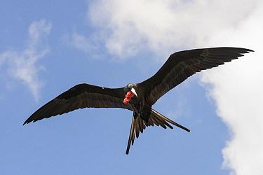 Magnificent Frigatebird (Fregata magnificens) male flying, Curacao, Netherlands Antilles, Caribbean